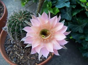 kwitnący kaktus w doniczce