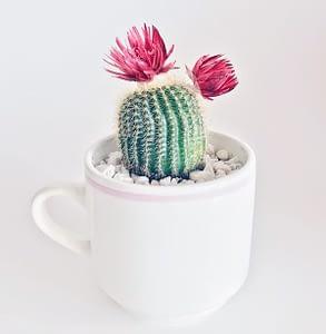 kwitnący kaktus w kubku-doniczce